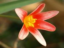 Красное tulpi Стоковые Фотографии RF