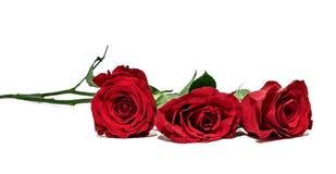 3 красной розы лежа на белой предпосылке фокус на близко поднял Стоковые Изображения RF