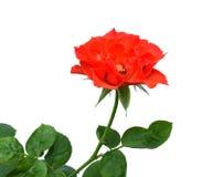 3 красной розы стоковое изображение