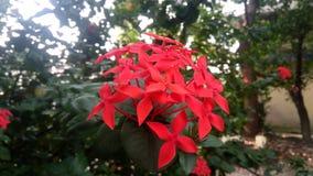 Красной цветок покрашенный звездой Стоковые Изображения RF