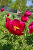 Краснокалильные Peonies стоковая фотография