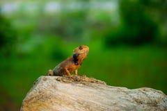 Краснокоричневая индийская стойка ящерицы на отрезка предпосылке зеленого цвета ландшафта вне деревянной стоковое фото rf
