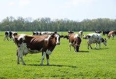 краснокоричневая корова  Стоковое фото RF