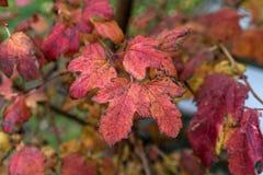 Краснокоричневая яркая осень цвета листает, прямо после дождя стоковые фото