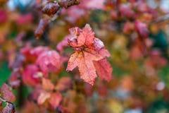 Краснокоричневая яркая осень цвета листает, прямо после дождя стоковые фотографии rf