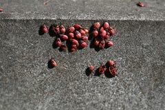 Красноклоп черепашки wingless Стоковое Изображение RF