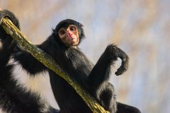Краснолицая обезьяна спайдера Стоковое Изображение