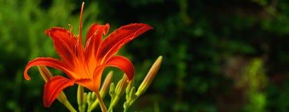 Красно-апельсин-пламенистый цветок Стоковая Фотография RF