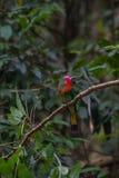 Красно-бородатый Пчел-едок садясь на насест на ветви Стоковые Фото