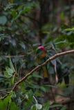 Красно-бородатый Пчел-едок садясь на насест на ветви Стоковая Фотография RF