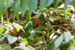 Красно-бородатый Пчел-едок садясь на насест на ветви Стоковое Изображение