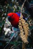 Красно-голубой попугай стоковое фото