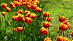 Красно-желтые тюльпаны в саде видеоматериал