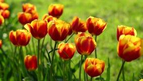 Красно-желтые тюльпаны в солнечном дне сток-видео