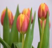 Красно-желтые покрашенные тюльпаны Стоковая Фотография RF