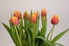 Красно-желтые покрашенные тюльпаны Стоковое Изображение