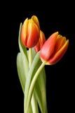 3 красно-желтых цветка тюльпана изолированного на черной предпосылке Стоковое фото RF