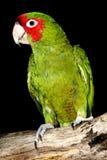 Красно-замаскированный длиннохвостый попугай Стоковые Фотографии RF