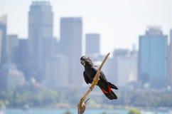 Красно-замкнутая черная птица какаду на мертвом дереве с городским пейзажем в предпосылке Стоковые Изображения