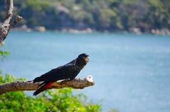 Красно-замкнутая черная птица какаду садилась на насест на мертвом дереве Стоковое фото RF
