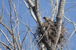 Красно-замкнутый хоук сидя на своем гнезде Стоковые Изображения RF
