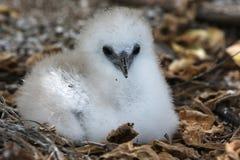 Красно-замкнутый цыпленок Tropicbird пушистый Стоковые Изображения RF