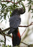 Красно-замкнутый черный какаду Стоковые Изображения