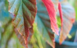 Красно-зеленые листья закрывают вверх по фото, сфокусированному для одного листа, остатки Стоковые Изображения