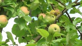 Красно-зеленые яблоки висят на ветви акции видеоматериалы