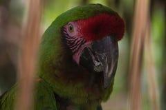 Красно-зеленый попугай джунглей Стоковая Фотография
