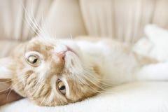 Красно-и-белый кот Стоковое фото RF
