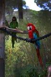 Красно-и-голубая ара, ararauna Ara, попугай ары Стоковое Изображение RF