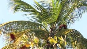 Красно-и-зеленое chloropterus Ara ар есть плодоовощ кокоса на пальме в Тринидад и Тобаго видеоматериал