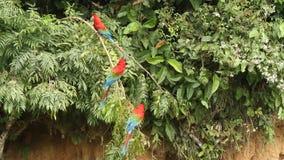 Красно-и-зеленое chloropterus Ara ар на ветви воюя в национальном парке Manu, Перу, попугаях собирая около глины лижет сток-видео