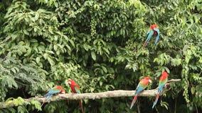 Красно-и-зеленое chloropterus Ara ар на ветви воюя в национальном парке Manu, Перу, попугаях собирая около глины лижет видеоматериал