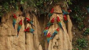 Красно-и-зеленое chloropterus Ara ар на глине лижет в национальном парке Manu, Перу, попугаях собирая для того чтобы сбалансирова акции видеоматериалы
