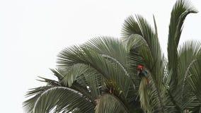 Красно-и-зеленое chloropterus Ara ар холя свои пер на пальме в национальном парке Manu, Перу акции видеоматериалы