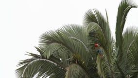 Красно-и-зеленое chloropterus Ara ар холя свои пер на пальме в национальном парке Manu, Перу сток-видео