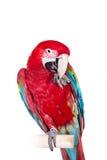 Красно-и-зеленая ара на белой предпосылке Стоковые Фотографии RF