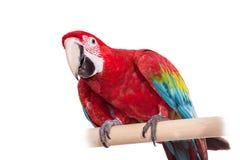 Красно-и-зеленая ара на белой предпосылке Стоковое Изображение