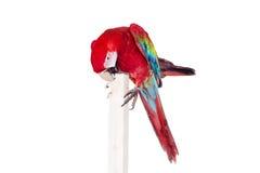 Красно-и-зеленая ара на белой предпосылке Стоковые Изображения