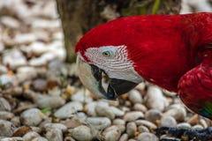 Красно-и-зеленая ара Стоковая Фотография