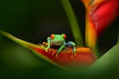 Красно-наблюданная древесная лягушка, callidryas Agalychnis, животное с большими красными глазами, в среду обитания природы, Пана Стоковые Фотографии RF