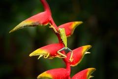 Красно-наблюданная древесная лягушка, callidryas Agalychnis, животное с большими красными глазами, в среду обитания природы, Кост стоковое фото rf