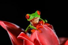 Красно-наблюданная древесная лягушка, callidryas Agalychnis, животное с большими красными глазами, в среду обитания природы, Пана Стоковая Фотография
