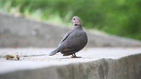 Красно-наблюданный голубь на мостовой видеоматериал