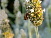 Красно-наблюданная муха на белой лаванде Стоковые Фото