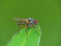 Красно-наблюданная муха на лист Стоковое Изображение RF