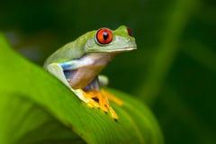 Красно-наблюданная древесная лягушка Амазонки (Agalychnis Callidryas) Стоковые Изображения