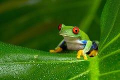 Красно-наблюданная древесная лягушка Амазонки (Agalychnis Callidryas) Стоковое Изображение